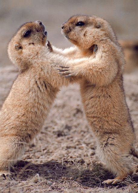steppe marmots fighting Marmota bobak